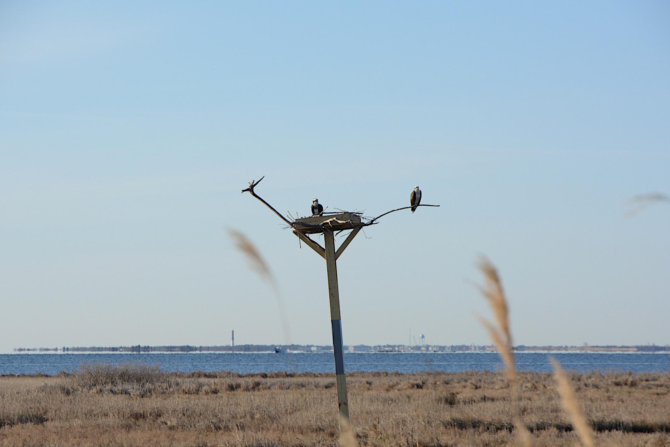 Osprey pair on barnegat bay mvschulze for Barnegat bay fishing