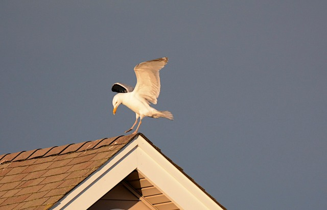 Gull landing on neighbors house